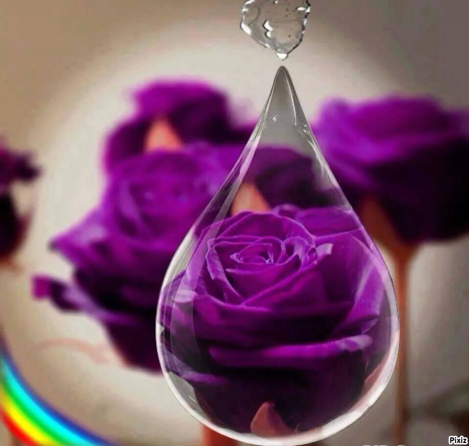 Montaje fotografico rosas moradas - Pixiz