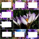 Printemps-pêle-mêle crocus -8 photos