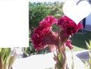 Flor de Veludo 3