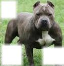 Pit bull 3 fotos