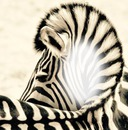 zebra juve