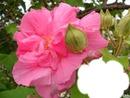 fleurdhibiscus