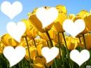 tulip coeur (7 photo)