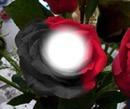 rosa roja y negra
