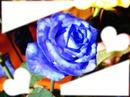 rosa bleue