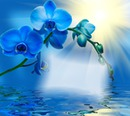 Orchidee blue