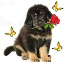 un chien avec une rose dans sa gueule et 3 papillons 1 photo