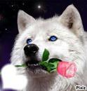 loup avec rose