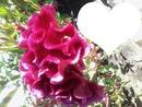 Flor de Veludo 2