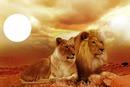 les amoureux lion