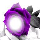 rosa lila
