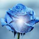 roses bleu