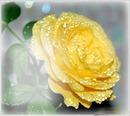 Linda rosa amarela