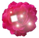 merci rose magnifique