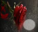 Rosa na chuva