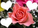 Rose /nonette/