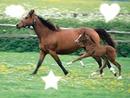 les chevaux et leurs poulins !!!!!