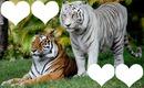 tigre 4 photo