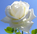 Mi bella rosa
