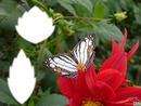*Papillon*