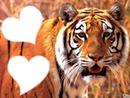 tigre amour