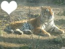 tigre <3