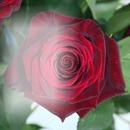 Rosa vrmelha