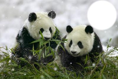 Просто красивые панды без подтекста Возрождение России.