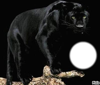panthère lune