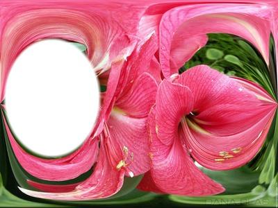 Montage photo amaryllis rose pixiz for Amaryllis rose