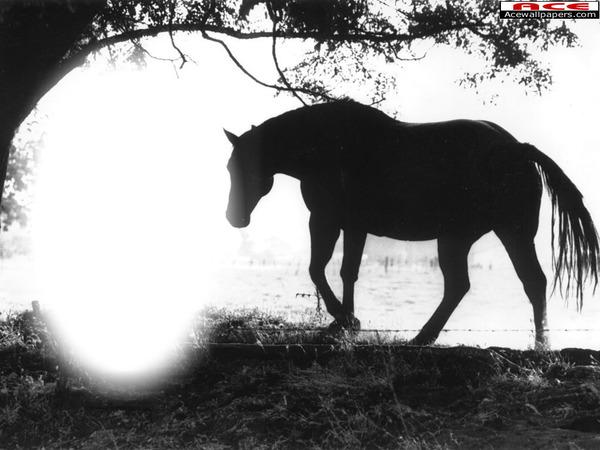 Montage photo cheval noir et blanc pixiz - Dessin chevaux noir et blanc ...