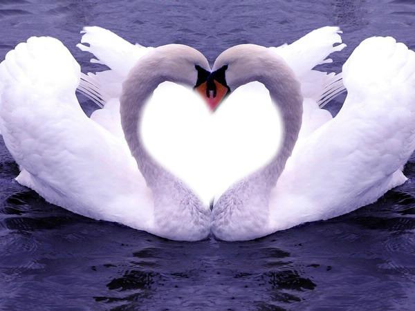 """Предпросмотр схемы вышивки  """"лебеди """". лебеди, лебеди, любовь, нежность."""