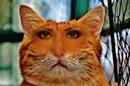 котка главата