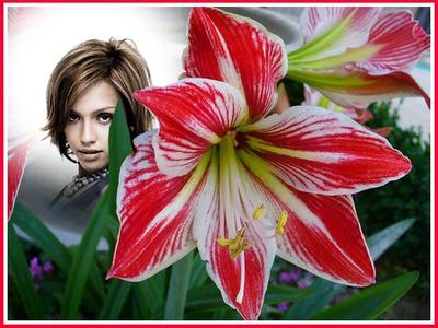 Röd och vit lilja