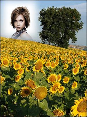 Maisema Field auringonkukkia