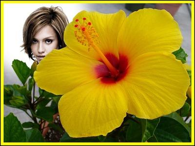 Żółty kwiat hibiskusa