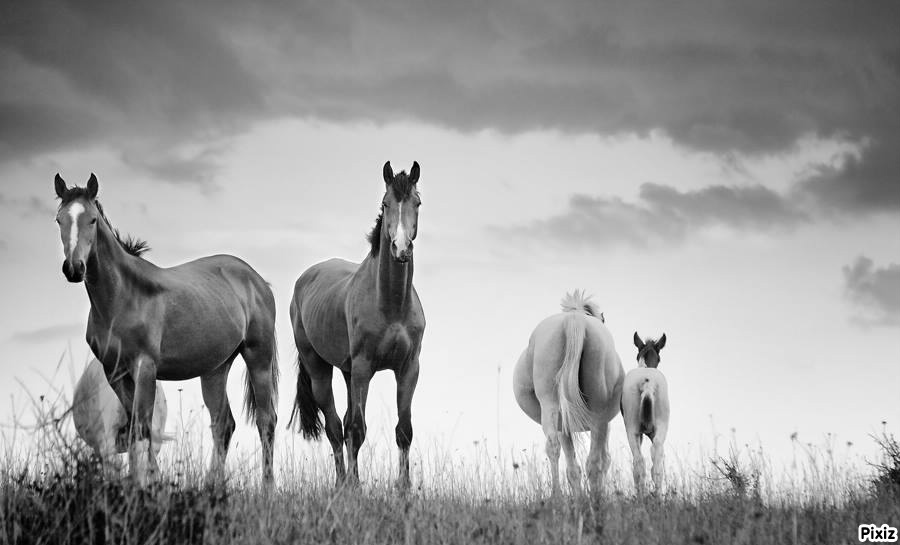 photo cheval en noir et blanc