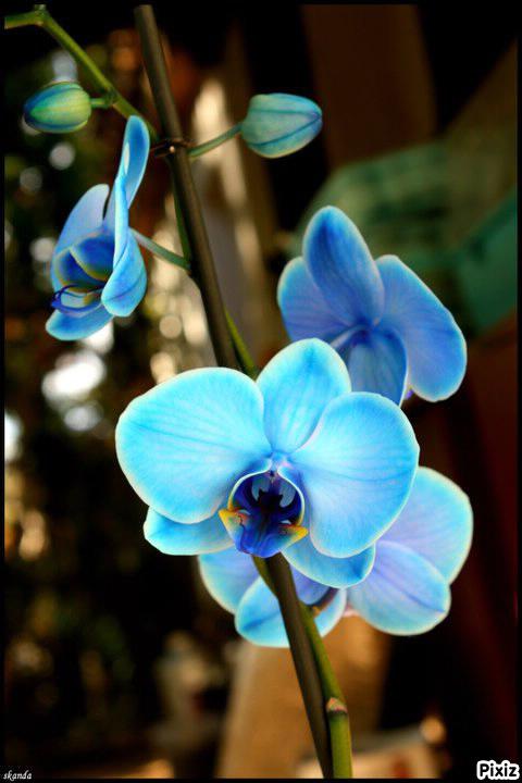 orchidee bleue