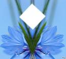 fleur d`azur