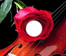 rose violon
