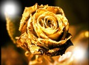 rose en or