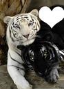 Amour tigres