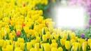 Tulbenwiese Frühling