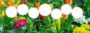 Cercles sur tulipes