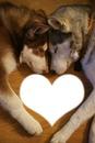 husky amoureux