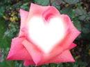 b rose