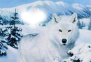 loup blanc coeur