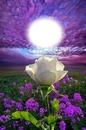 lavish white rose bb