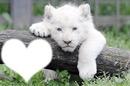 """bébé lion blanc 3 mois """" RARE"""""""