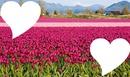 Tulipán mező :)